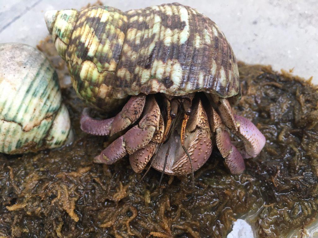 Coenobita brevimanus erakkorapu